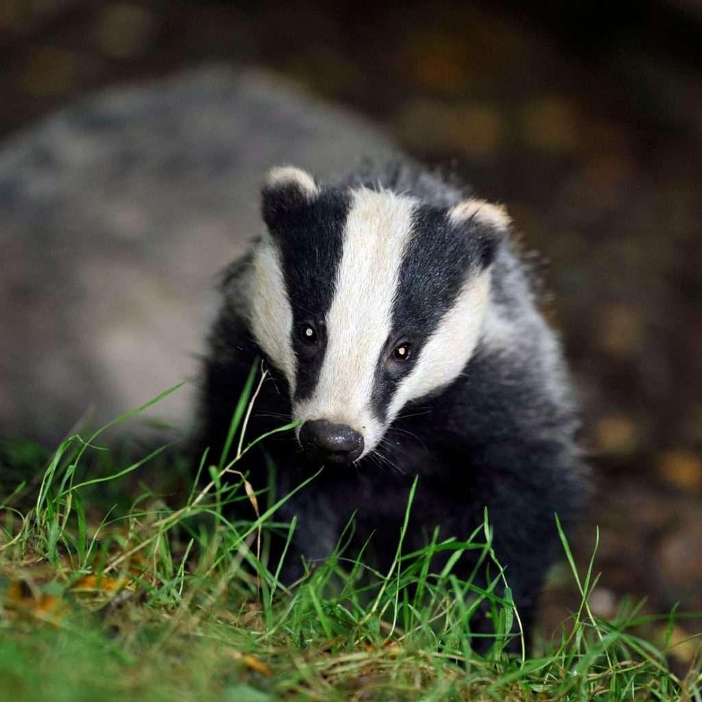 """Badgers теперь имеют новый дом: протокол DeFi приобрел """"badger.com"""" за 300 000$"""